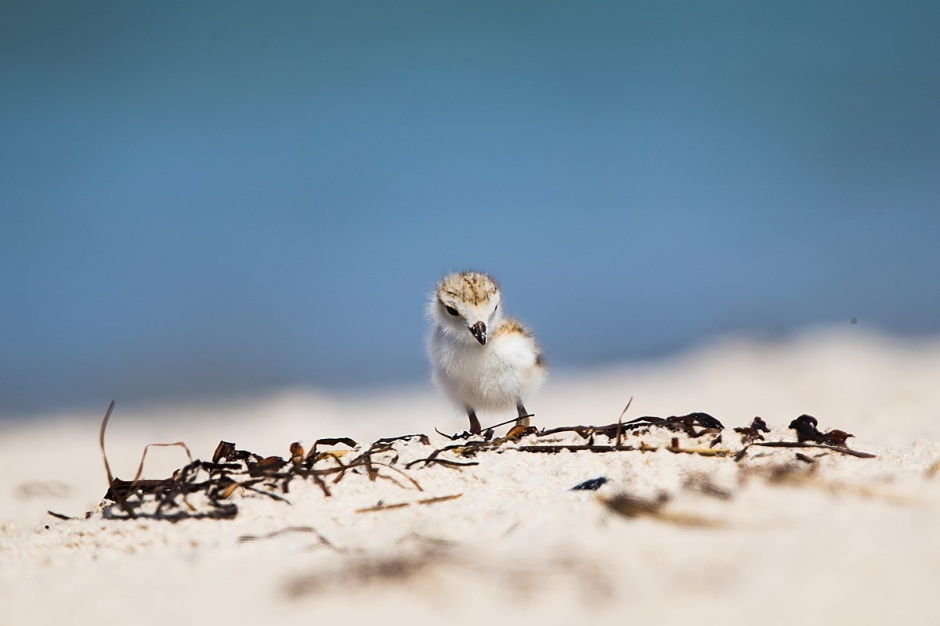 1 week old Plover Chick contemplates weed.