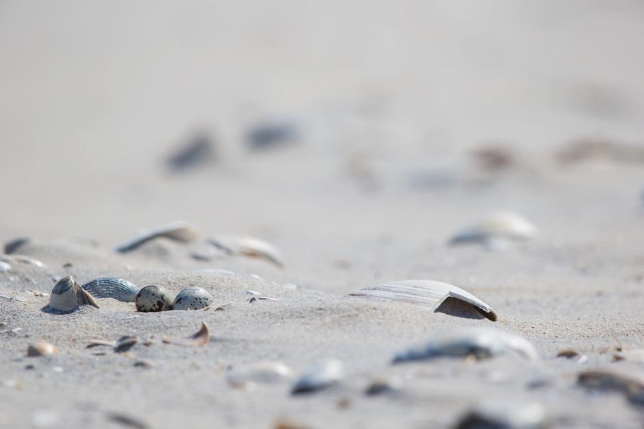 Walking on Eggshells. Least Tern Nest.