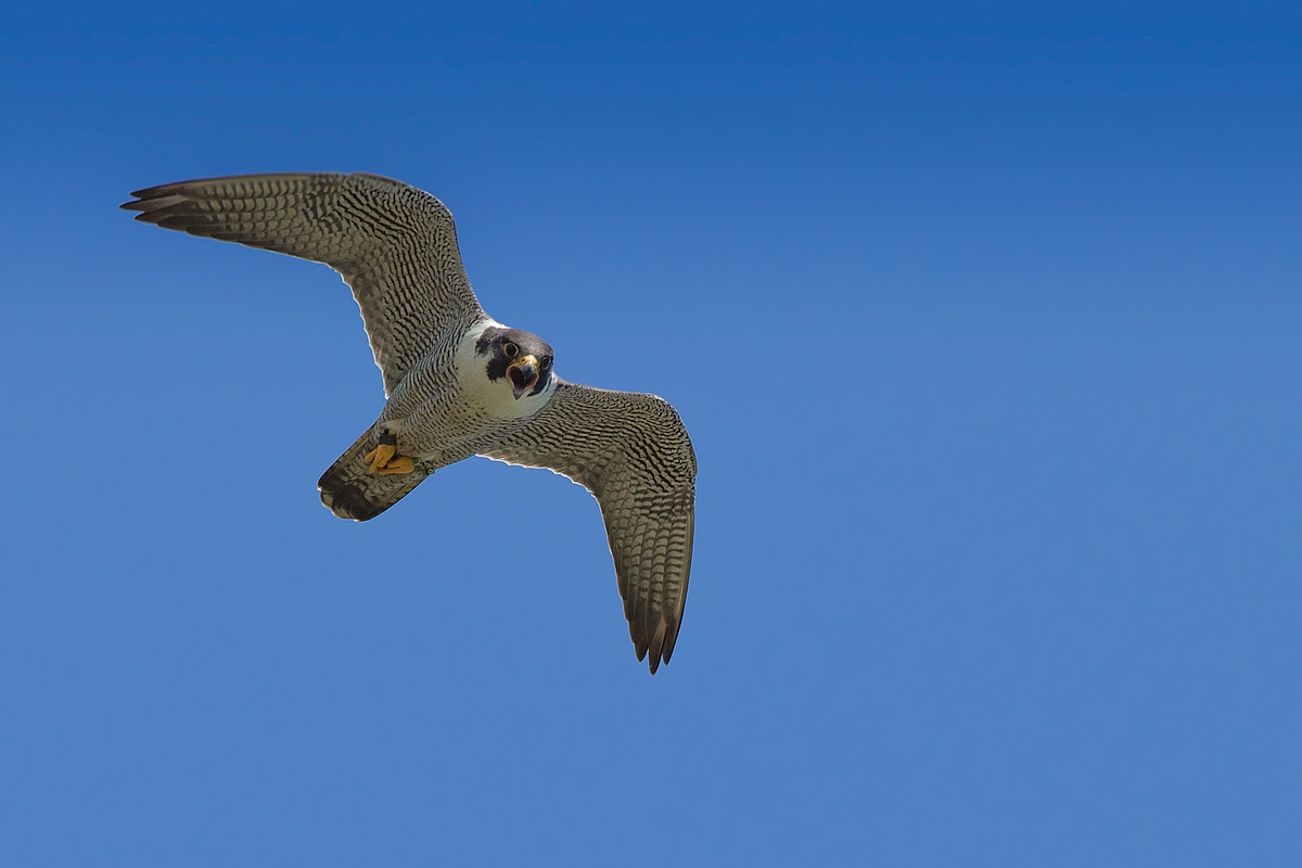 Peregrine Falcon Attacking 88624 | BURSARY