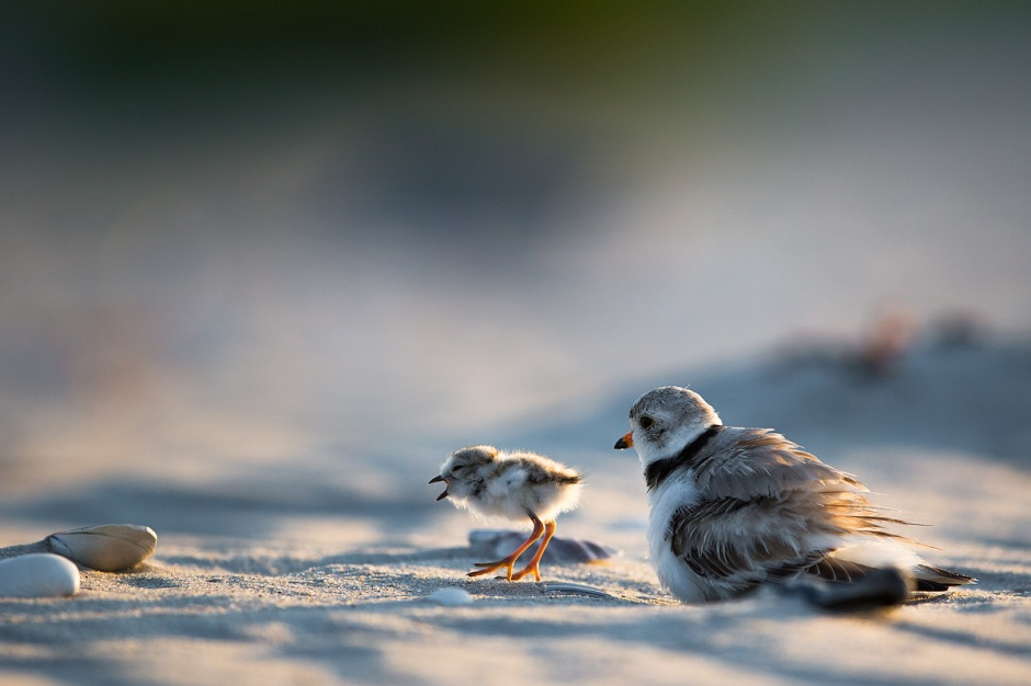 "There are many great photos of Plover chicks stuffed under mama, but the cutest has to be the ""bust out"" when the chicks get tired of the roost and take off with a full tank of gas."