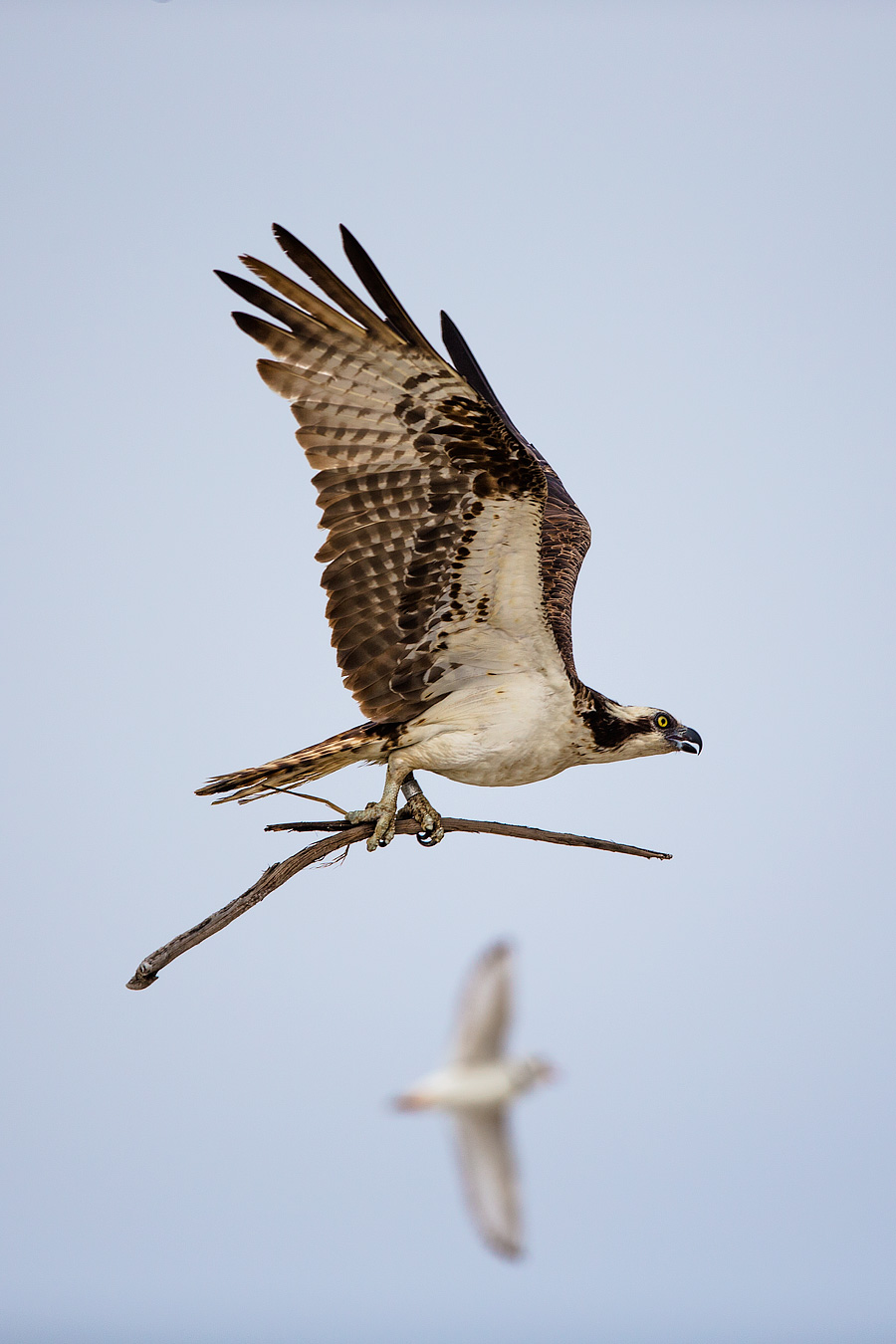 Osprey be warned: Tufters won't tolerate stick-grabs on his turf.