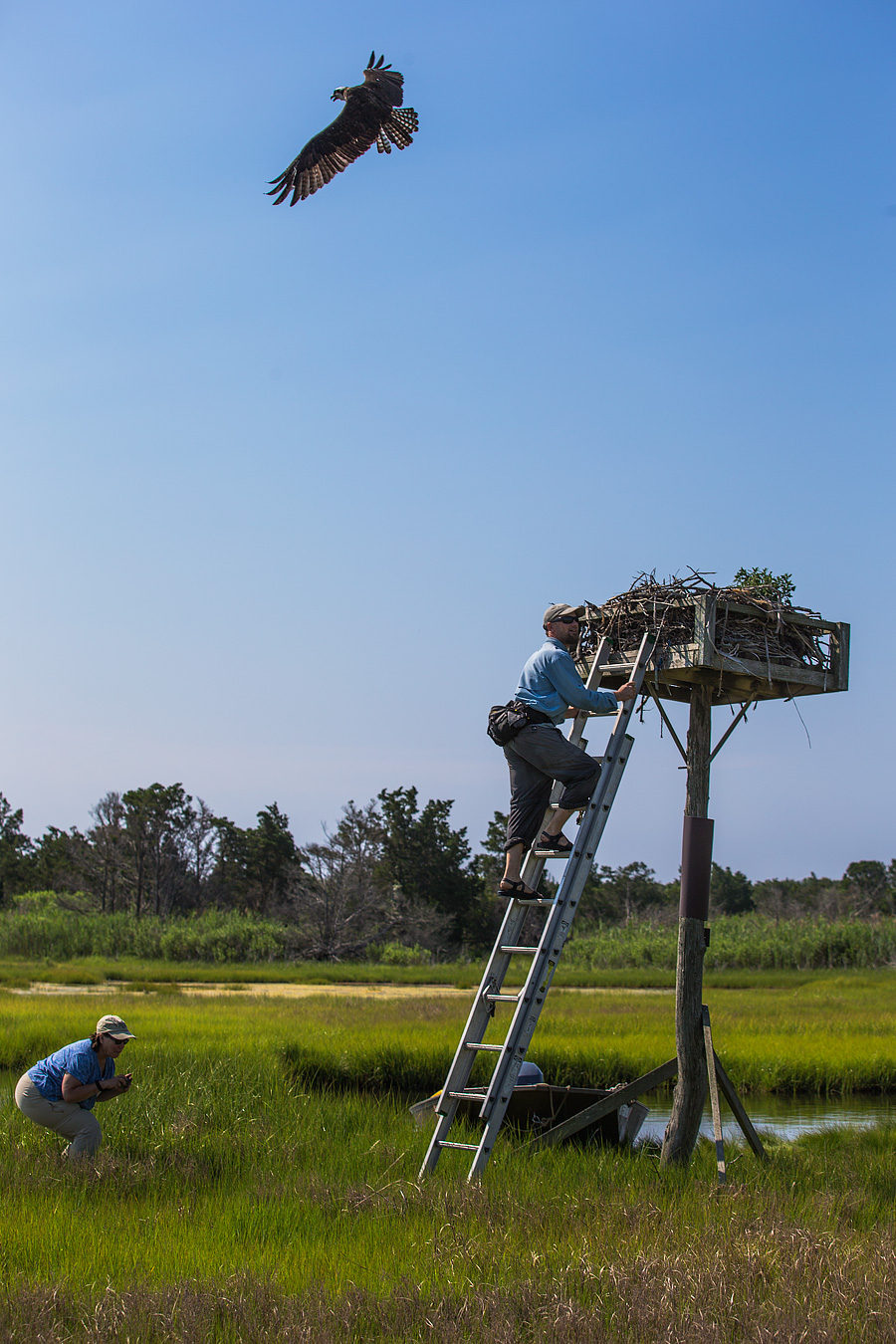 But for a first visitor to an Osprey's nest, the experience can be a little.... exhilarating