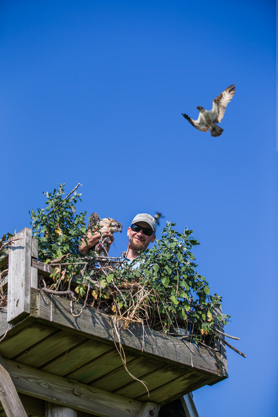 You might think Ben Wurst's amazing life as the Osprey Hero for the State of New Jersey is all kitten whispers and tickle fights as he snuggle adorable young Osprey when he cares for their nests....