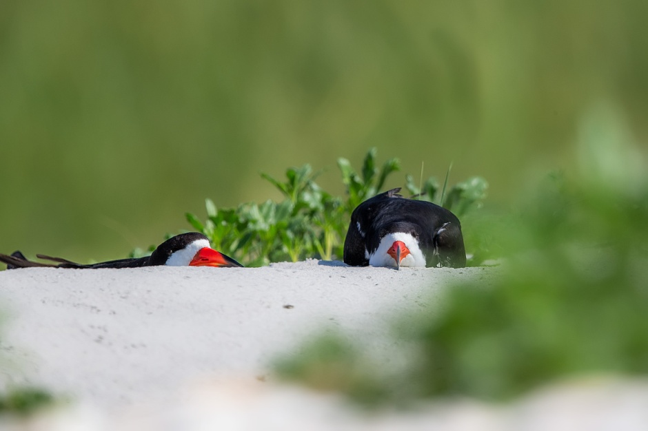 Unlike the highly territorial PIPL (Piping Plover) & the AMOY (American Oystercatcher), Black Skimmers breed in large colonies like the Least Tern.