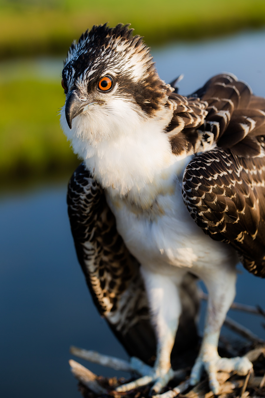 For anyone who loves Osprey, it is only a matter of time before you realize the Juvenile Osprey is the most beautiful of them all.
