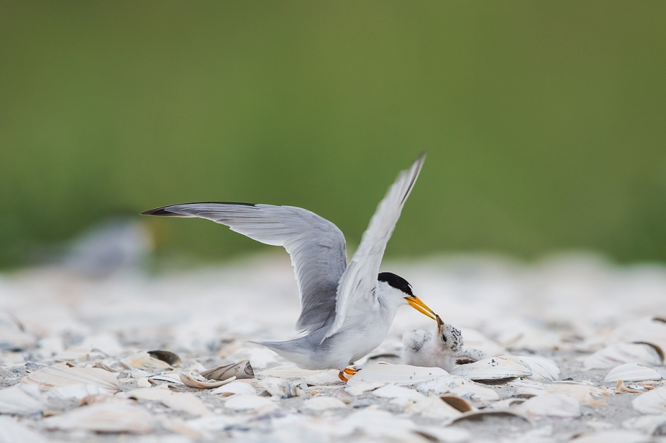 Given the extreme itty bittiness of the Least Terns, the amount of chaotic violence that takes place in the colony can be shocking.