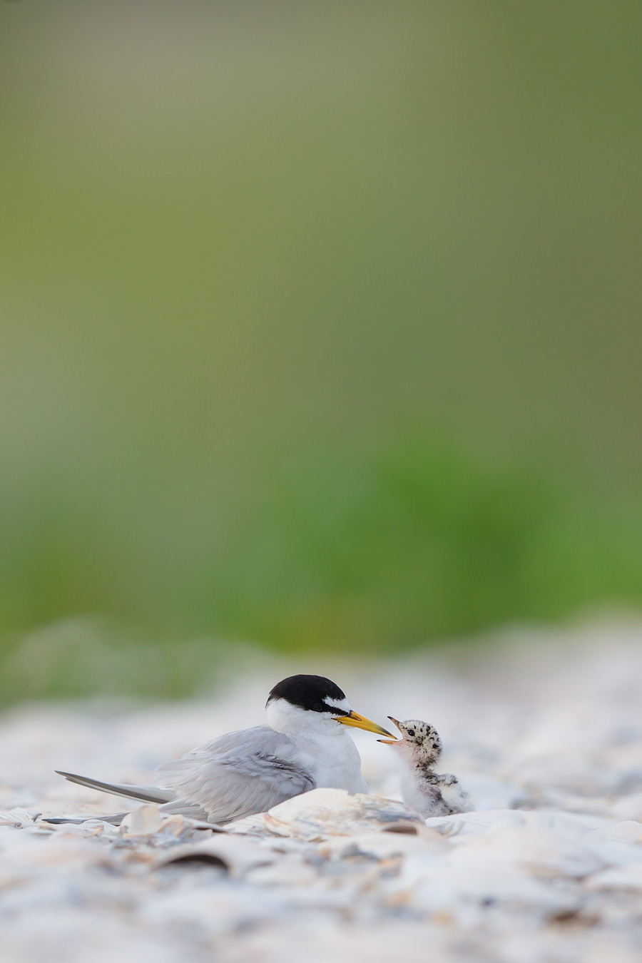 As a Part II to our previous post Most Love For The Least Tern: Operation Snuggletime,  we infiltrate a Least Tern colony to explore everybody's second favorite activity, Nom Nom, to see if Least Tern should actually be the preferred beach nesting bird of the shore.