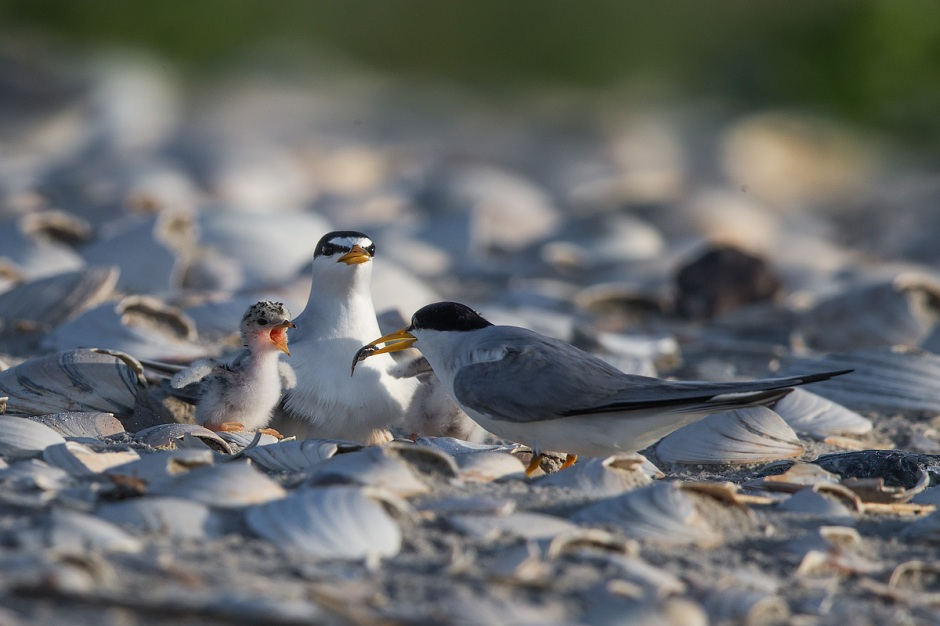 Unlike the precocial Piping Plover who can immediately begin foraging for itself after popin-out-the-egg, fat little Least Tern hatchlings have to be fed by their parents.