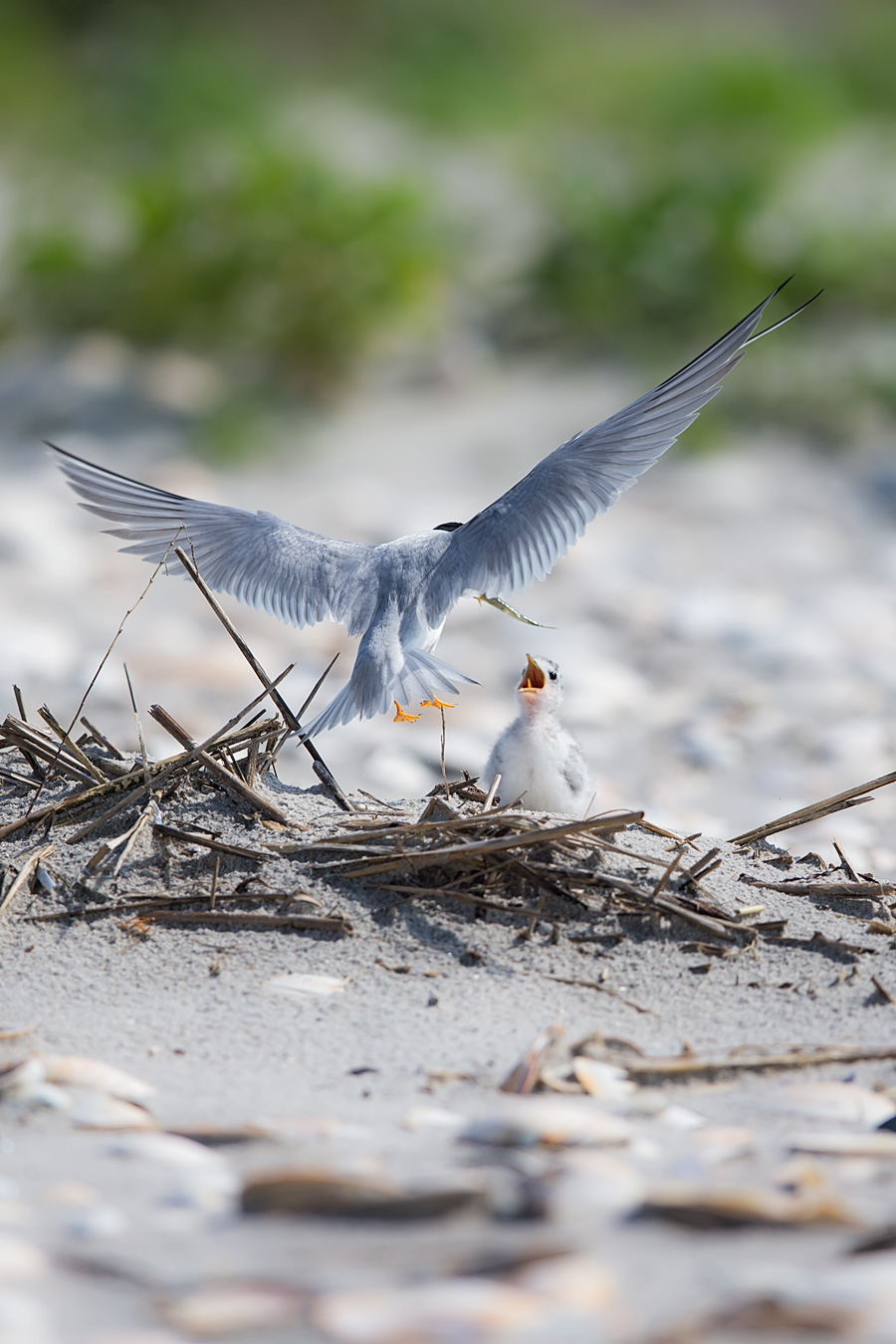 Fat little Least Tern babies run amok through the dune, waddling around and waiting for their parents to bring them fresh fish from the sea