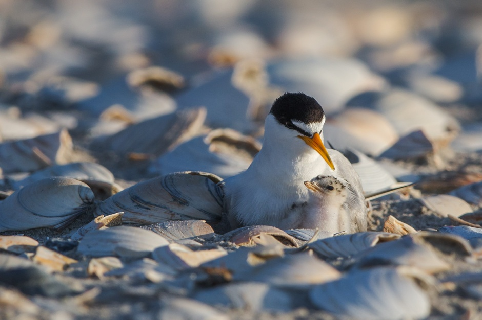 The Least Tern is aptly name as it is the Least Favorite  beach nesting bird amongst the public, the volunteers, and even the CWFNJ staff.