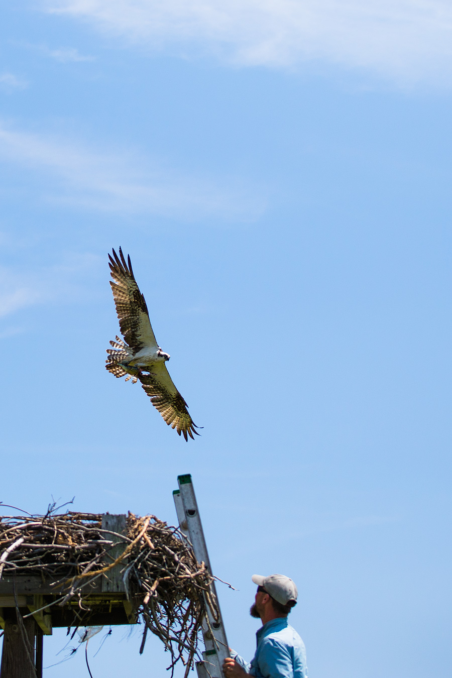 Osprey banding is alway an adventure, as Osprey are generally great parents and will mercilessly buzz, bomb, blast, and blitz anything that comes to close to their nests.