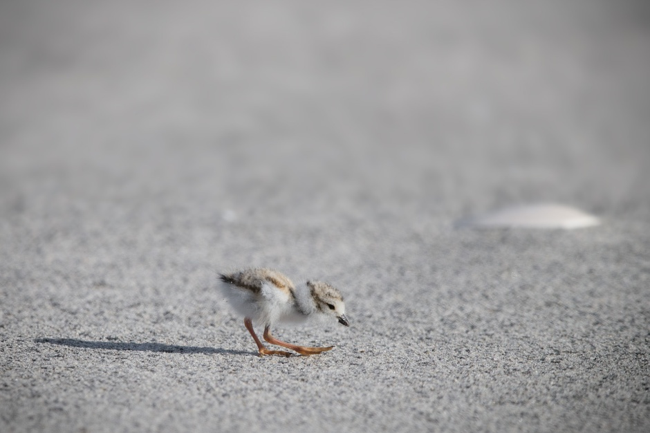 It is with great, itty-bitty pleasure that I announce to you that unto us these Piping Plover have just been born.