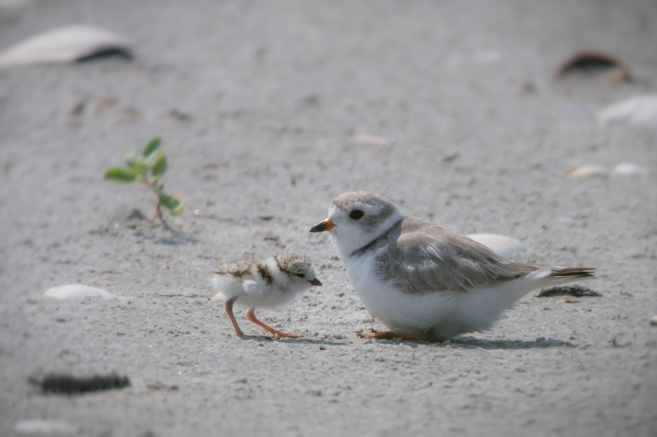 We wish you luck little ones. Every Plover Chick counts in the race to save this endangered species.
