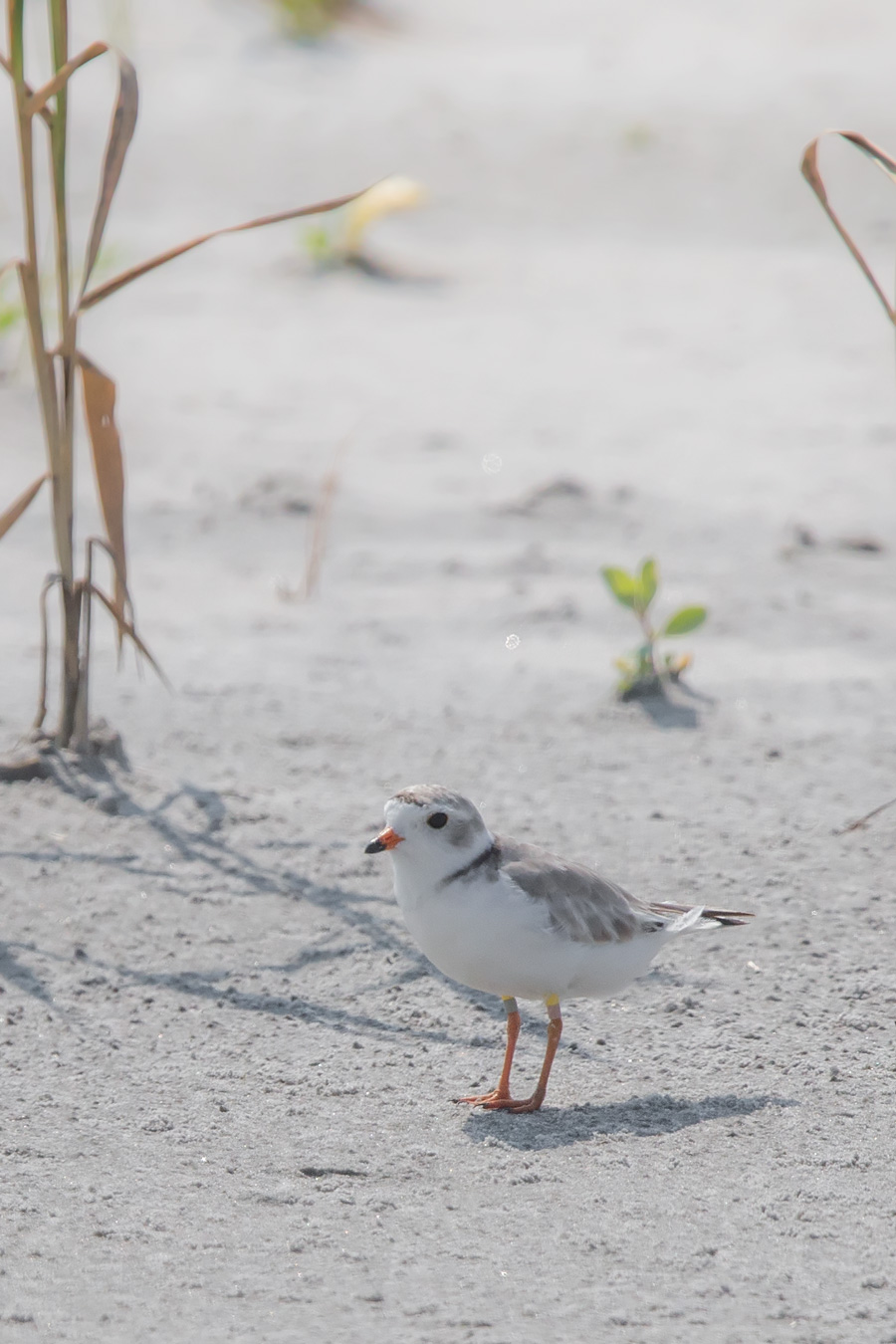 Born of the House Rafiki. Rafiki is one of New Jersey's rare banded Piping Plover. Atlantic Coast Piping Plover (as opposed to other groups, like Detroit Plover) are one of the very few birds susceptible to leg injury when banding. Piping Plover are only banded when the study involved is important enough to justify the potential risk.