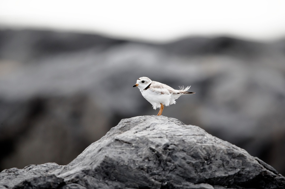 Tacey: A Rock Solid Lady Plover