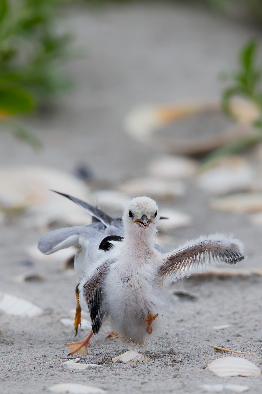 In this followup to the previous Most Love For The Least Tern Readings, Operation Snuggletime and Operation NomNom, we infiltrate a Least Tern Colony the extremely ruff-n-tumble nature of life in the colony.