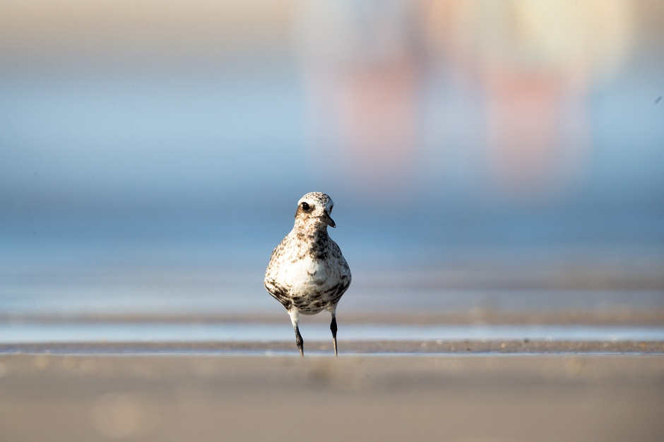 A Pretty Young Black Bellied Plover is a splotchy mess.