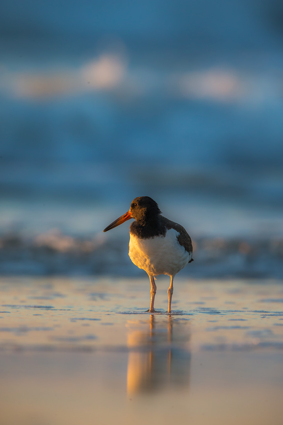 As the nesting season winds down, you'll find Pretty Young Things flocking to the beach to learn grown up skills. You can identify this juvenile Oystercatchers by the black coloring on her beak. It will go full orange when she's all grown up.