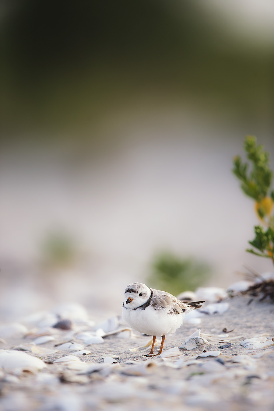 The Last Known Photo of Everyone's Favorite Plover:  Tufters!