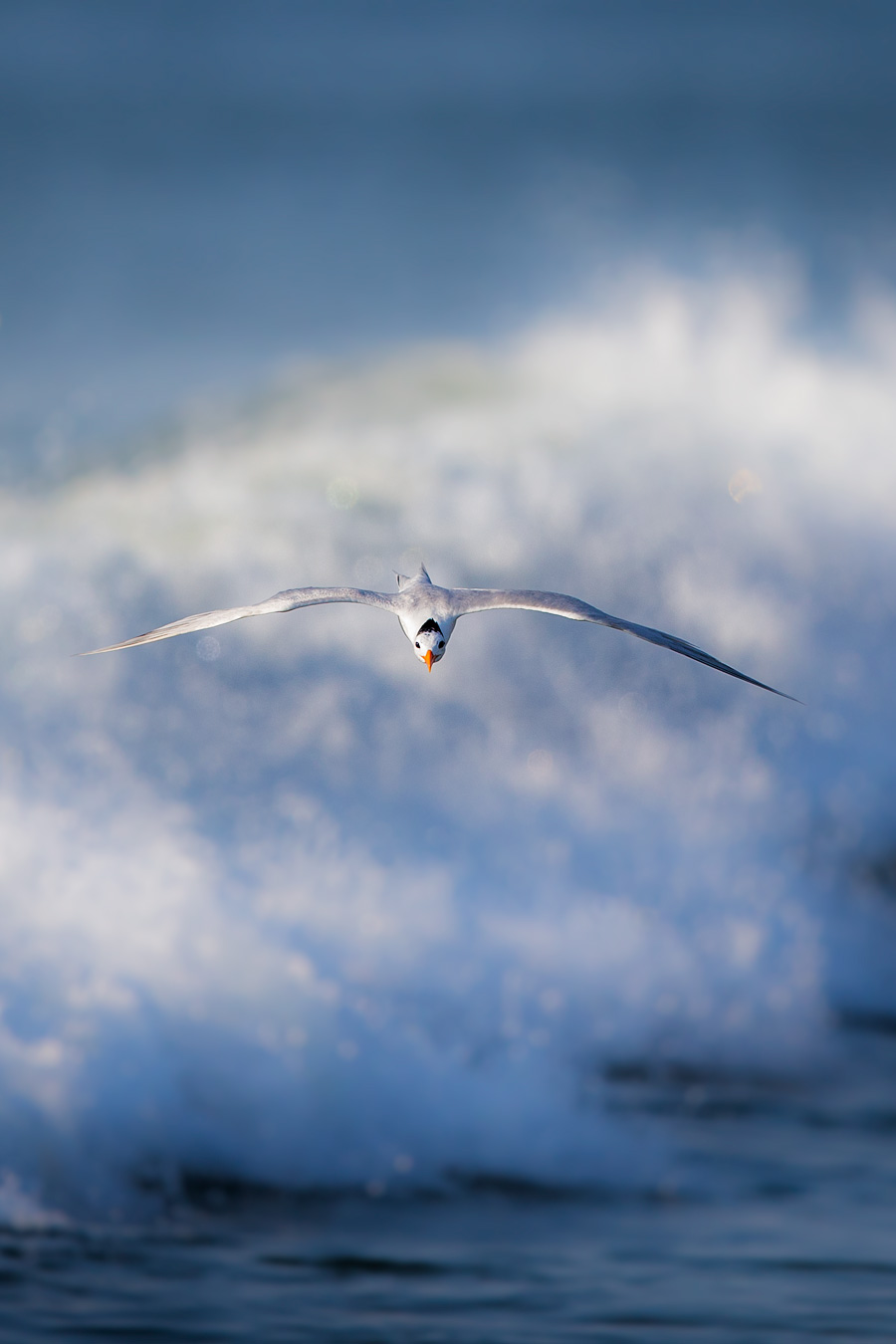 Bonus Shot: Royal Tern, This Is How They Do It
