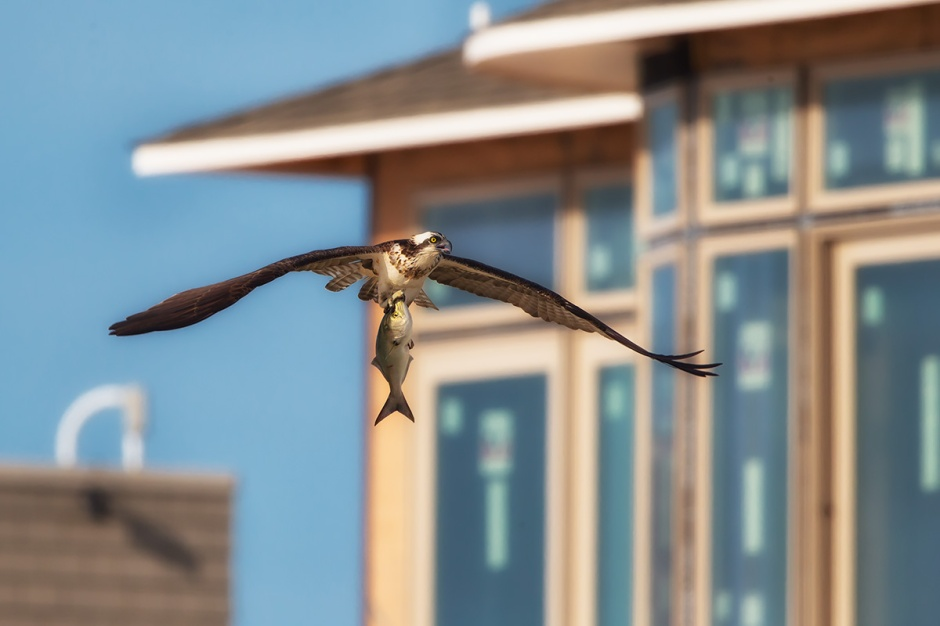 It appears this Osprey ordered the Lumberjack Special for breakfast, and was either unable or too tired to lift this fish over some newly constructed monster that looks like it will be a nuisance to replace when the sea eats it, which it surely will.
