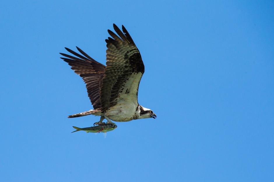 Osprey with catch: never gets old.