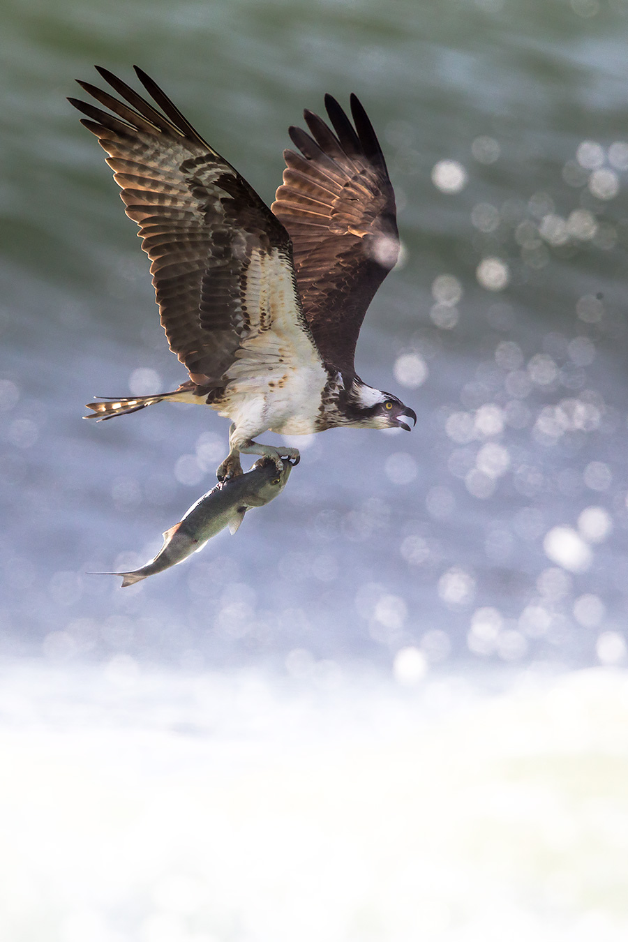 Osprey struggles in the surf at Loveladies.