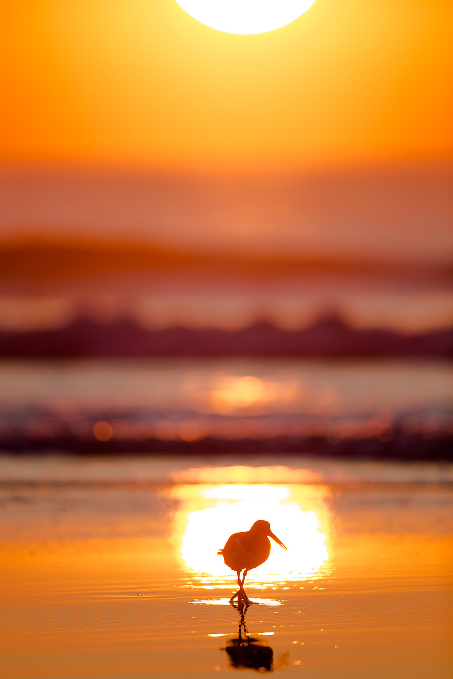 When Low Tide intersects the Sunrise, the forecast is great for spotting American Oystercatcher on the beach