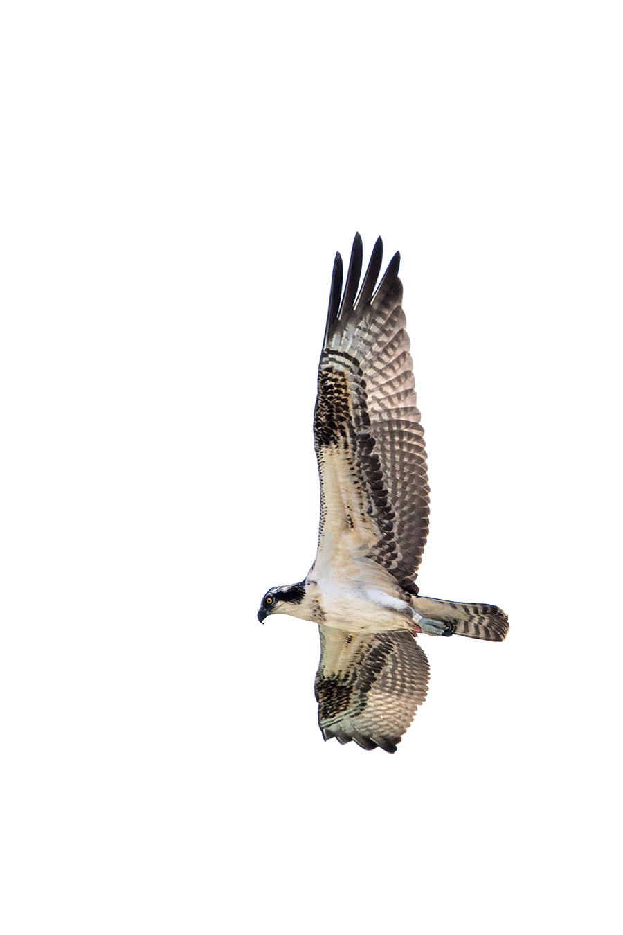 My First Red Banded Osprey, shot from the comfort of my own beach chair.