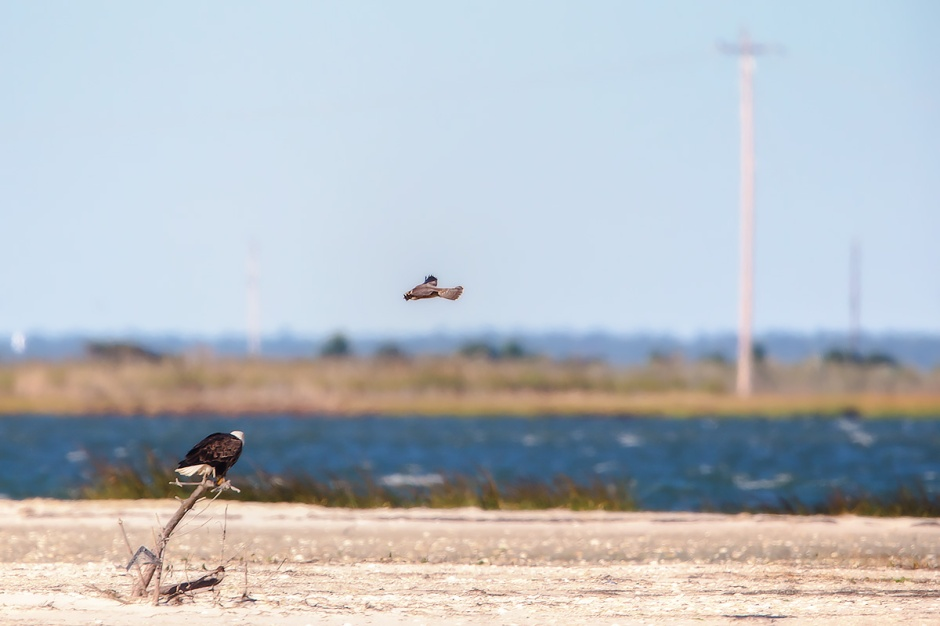 A poor photo, but only during the Ratorture will you catch a Bald Eagle & a Peregrine Falcon in the same frame on LBI.