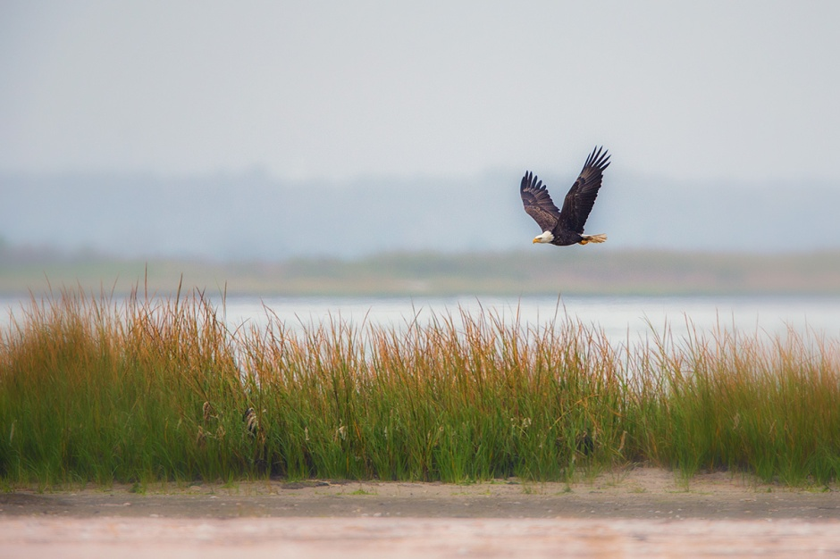 Fortunately, a Bald Eagle landed on the Island today so we can take a closer look.