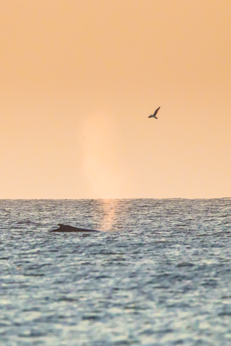 A Humpback off of LBI this morning. Sunrise Humpbacks are the best Humpbacks.