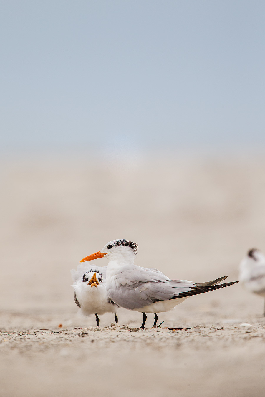 This young Royal Tern has to be the most annoying bird on the planet. If you thought Mac Daddy's Cheezitz (TM) were whiney, you should have seen this 'lil guy. The entire group kept going through great lengths to avoid him. His parent appeared mortified.