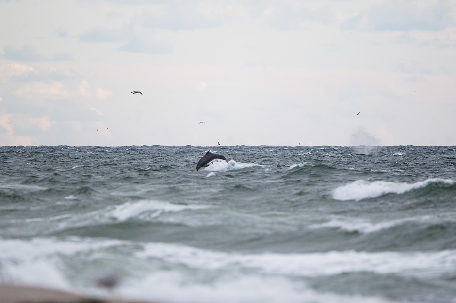 Even in the 20 MPH Northeast mess that is the LBI Ocean today, Humpback Whale blow is unmistakable. As is the happy frolicking of the Whales Dolphin Entourage.