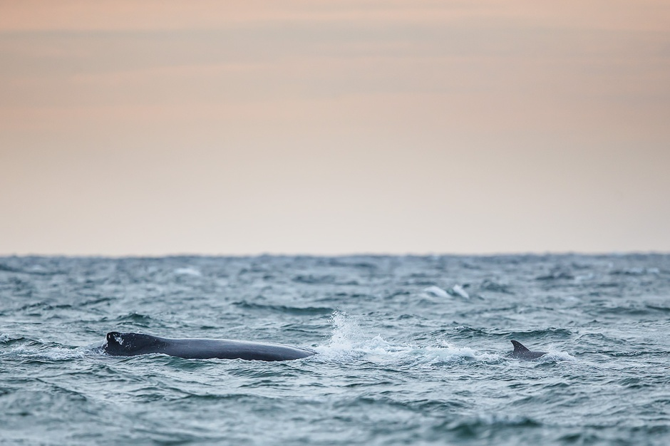 Whale Scale: Dolphin Vs. Humpbacks. Did you know Bottlenose Dolphin are Whales too?