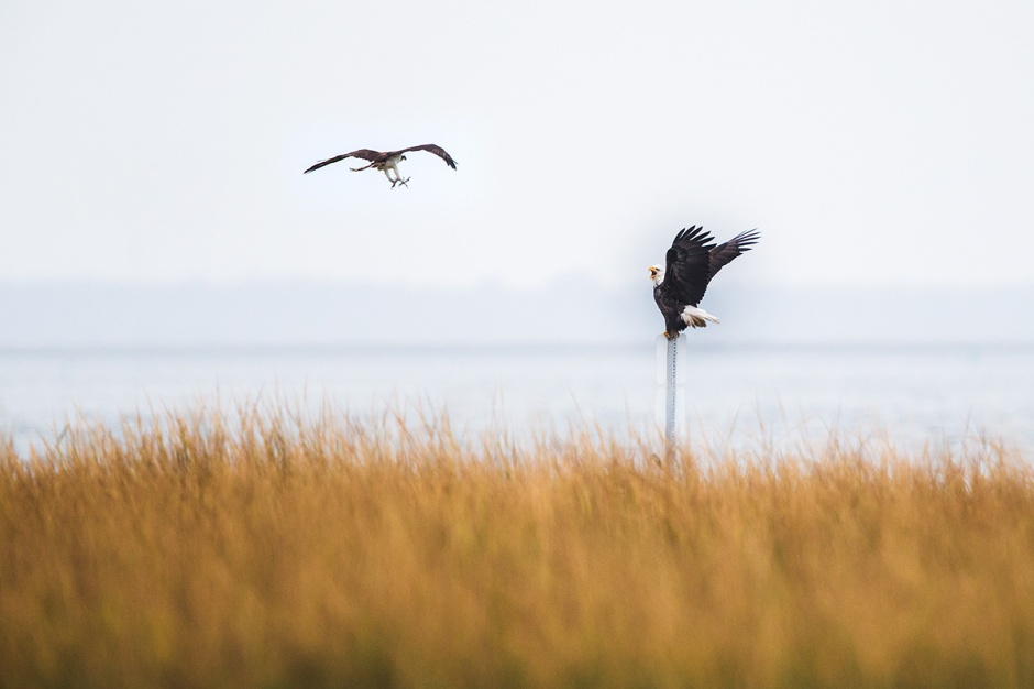 Here comes Osprey... yikes... that's not too hospitable Osprey. The unprovoked attack seems a strike against Osprey,  but America sure like to represent itself as hawkish & aggressive.