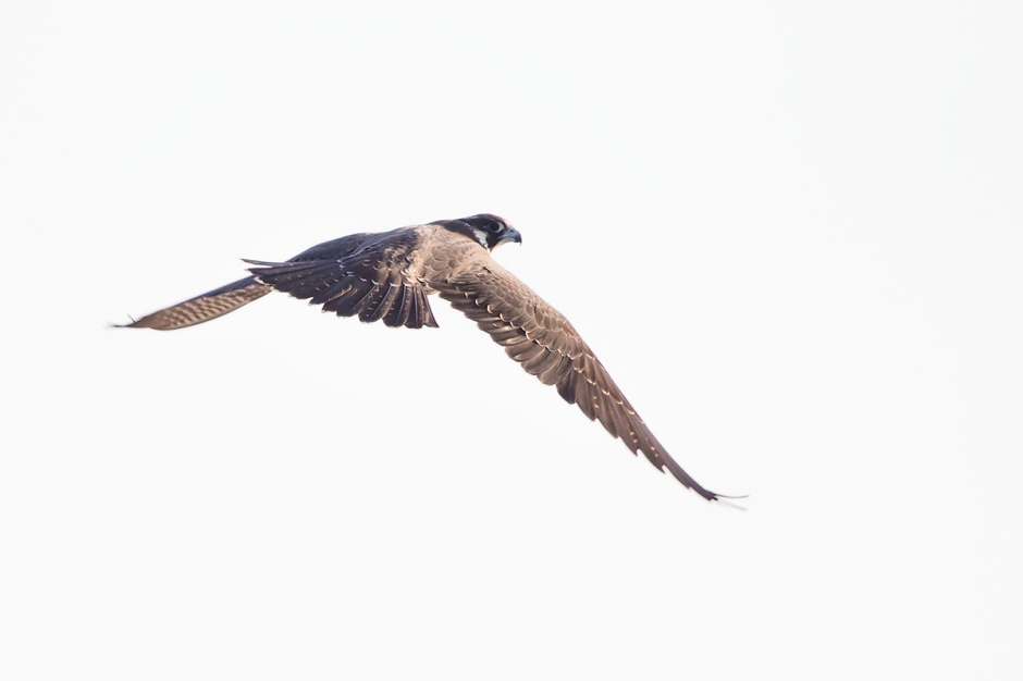 No my young Peregrine Falcon. Not yet. Your brown & yellowish feathers show us clearly that you're just a juvy.