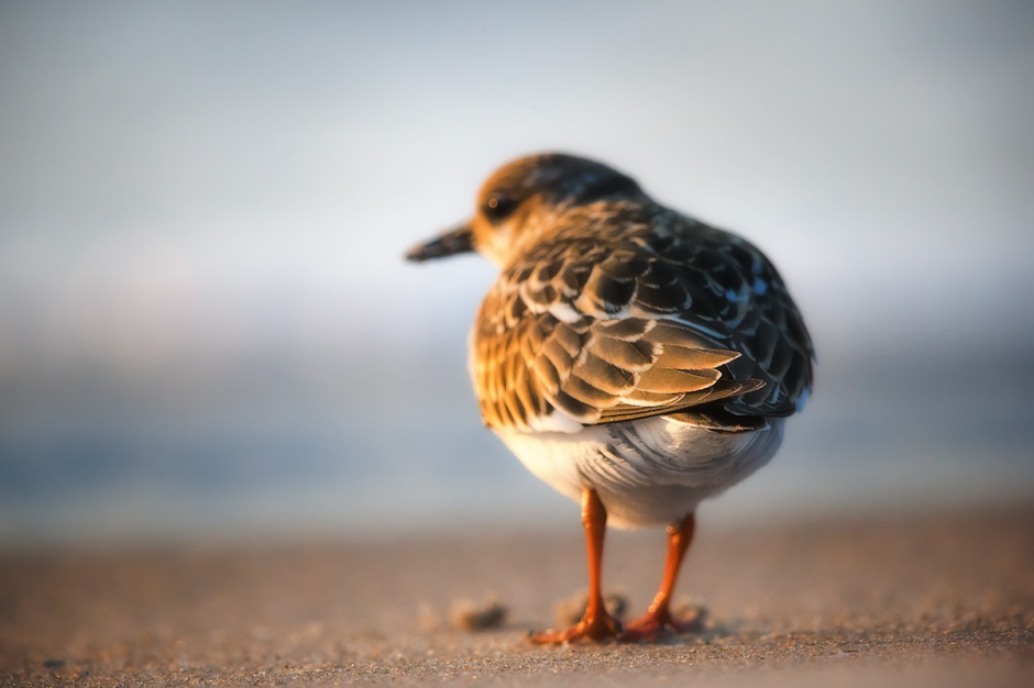 "A Juvenile Ruddy Turnstone watches for Whales this morning. Ruddy Turnstones are the toughest, coolest little shorebirds and have a knack for avoiding the itty bitty, inter-species dramas that play out on the beach. That's why we affectionately call the ""Ruddy Buddies""."