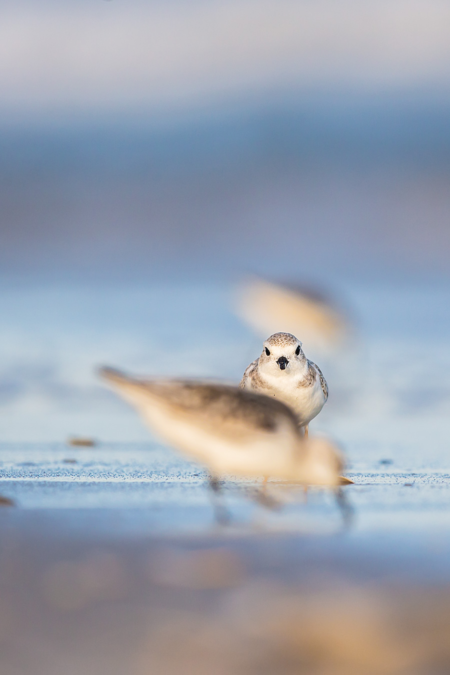 Classic Sanderling Photobomb