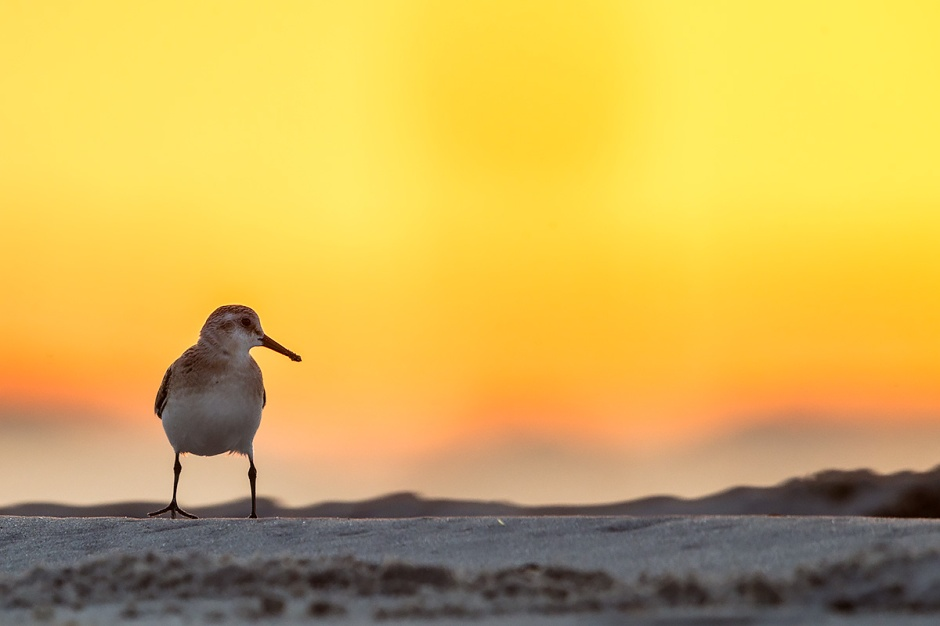 Shorebirds of the Apocalypse