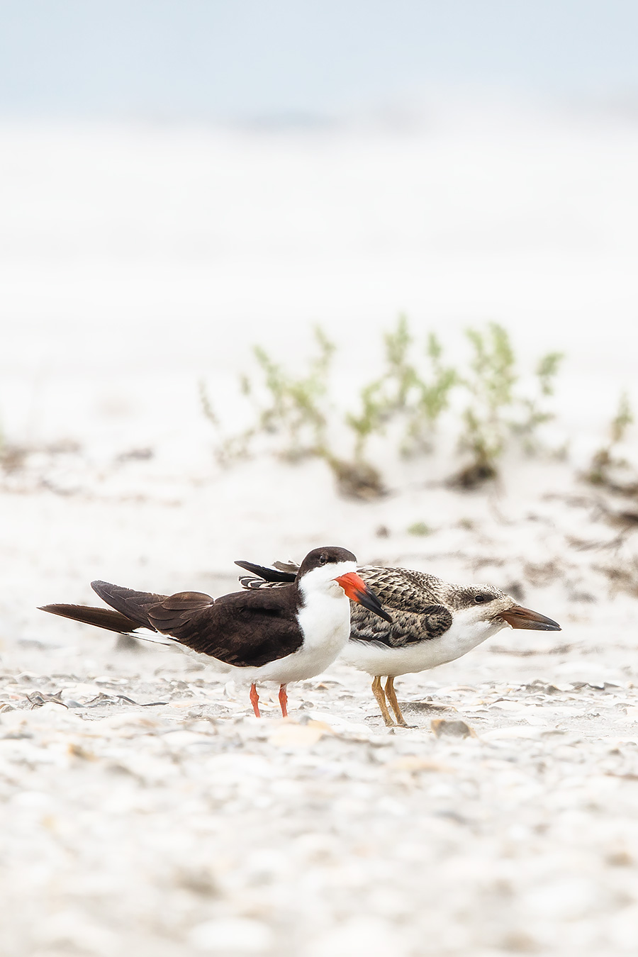 A large number of Black Skimmers are amassing in Barnegat Bay, but poor Momma is stuck, pinned down waiting for Sprinty McNugget to take that first flight. It appears that SNugz' siblings have moved on and joined the big group.