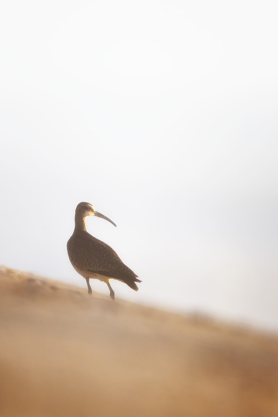 A Whimbrel, with its unmistakable curved beak, looks for Humpbacks during this morning's modest-dud-of-a-sunrise. Happy Shorebird Day, Whimbrel.
