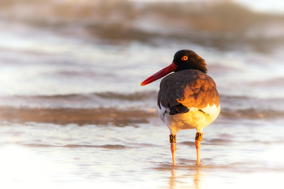 "Holgate Summertime Local, American Oystercatcher ""09"" yesterday morning."