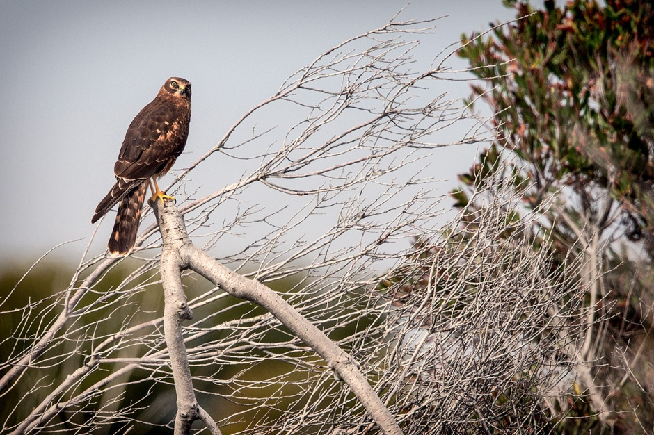 Maniacal Northern Harrier perches for us, but casts a wicked spell when we look into her owl face.