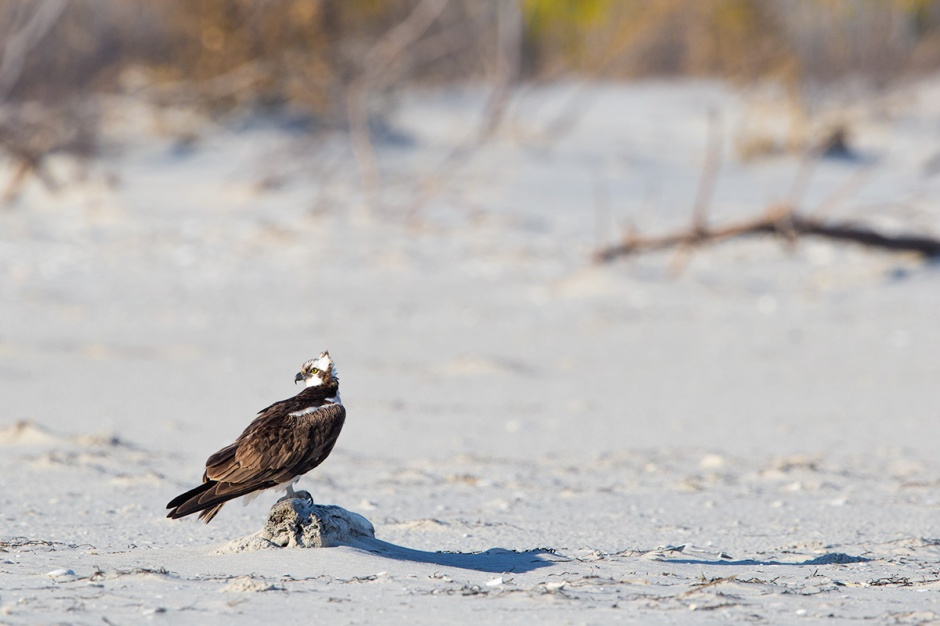 "Osprey says, ""They takes all man purches to eat bird, Mr. Norfside!"""