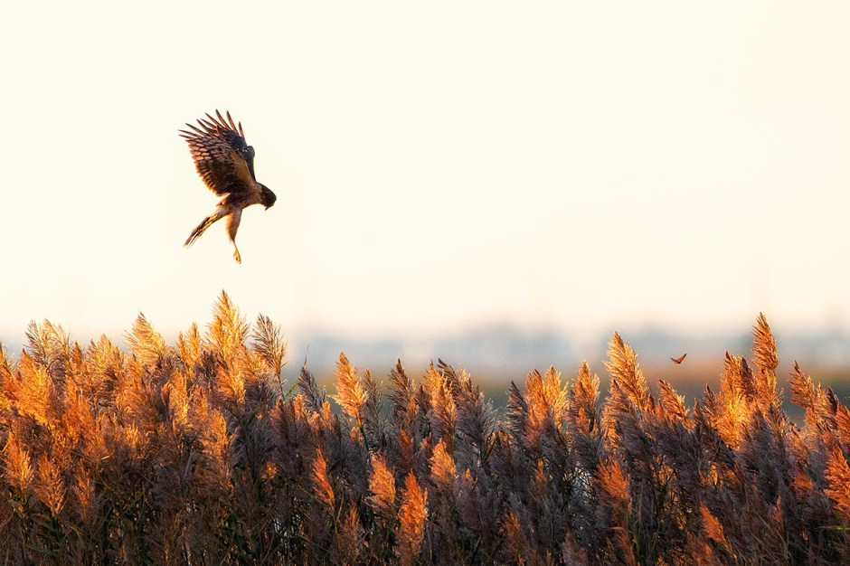 Don't miss the Monarch while you watch the Northern Harrier