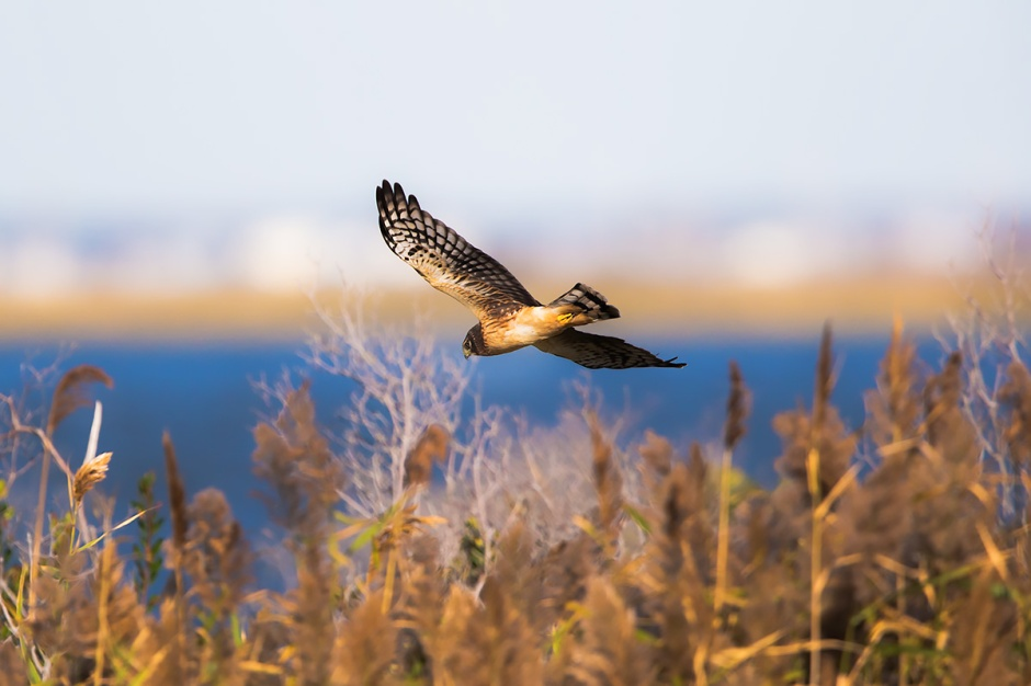 That's a good Northern Harrier. I'm not worried about you. You eat mice.