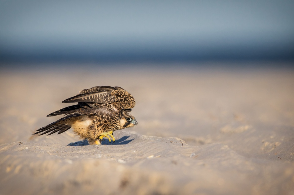 Don't miss the baby Peregrine Falcon, creeping across your beach
