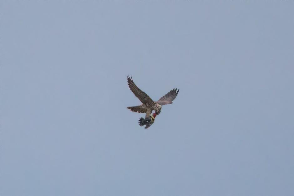 peregrine-falcon-sever-spine