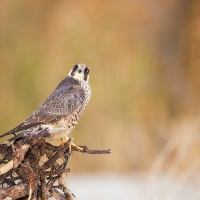 Caught In The Act: Peregrine Falcon LBI Menu Audit
